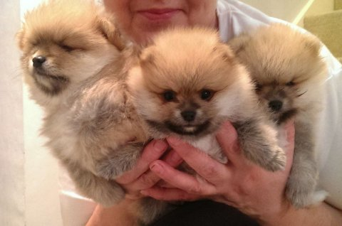 Handsome Miniature Teacup Pomeranian Puppy Boy 1 L