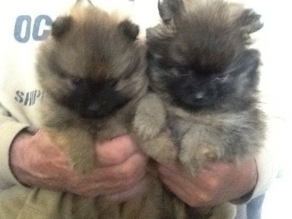 Micro Teacup Pomeranian Puppies For Sale Happy X_m