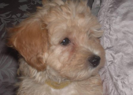High Quality Red Maltipoo Female Puppy Kc Reg Pare