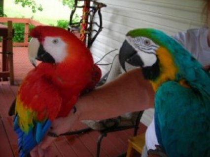 BLUE MACAW AVAILABLE TO GO NOW>>>>>>>
