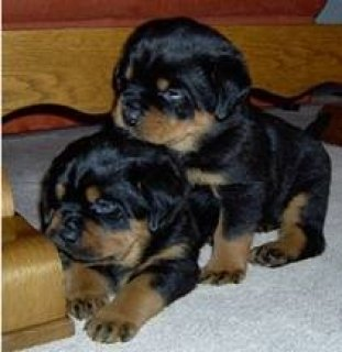 صور Sweet Rottweiler Puppies For Xmas 1