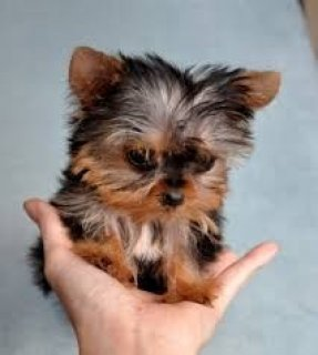 صور Teacup Yorkie Puppies For XMassss 1