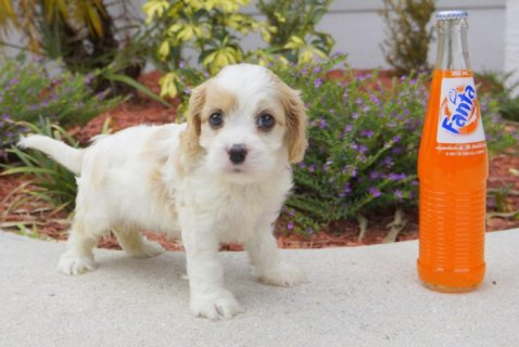 Cavachon Designer Breed Male and Female Pups! (Cav
