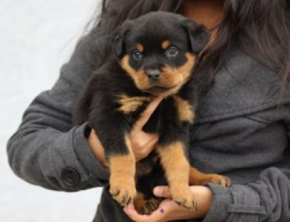 cute AKC Registered Rottweiler Puppy for XMas - 12
