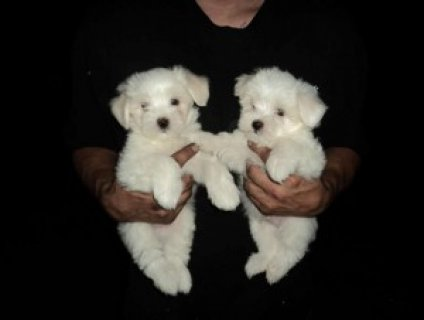 Tiny Teacup Maltese Puppies Available