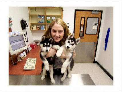 Siberian Husky mixed Puppies Availabe For Gifts To