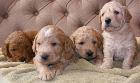 Goldendoodle Puppies for sale...