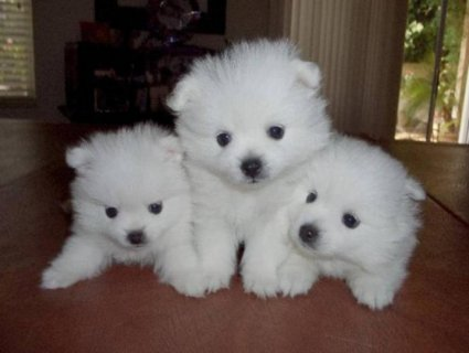 صور Wow Pomeranian Puppies For Good Homes 1