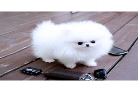 Gorgeous Teacup Pomeranian Pups for caring homes