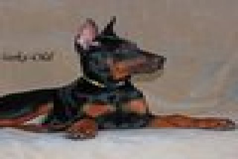 صور Doberman Pinschers Puppies For Sale 1