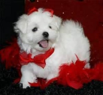 Male And Female Maltese Puppies Ready