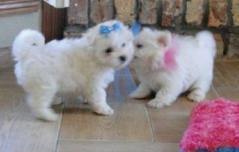 Maltese Puppies,