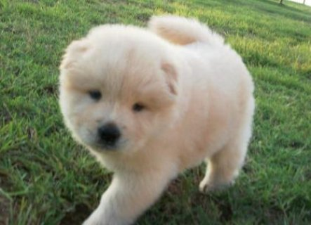Adorable Male and Female Chow Chow ready