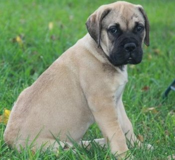 Adorable Male and Female Bull Mastif puppies ready