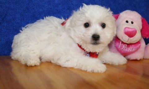 صور Adorable Male and Female Bichon Frise puppies  1