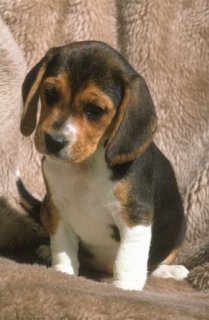 Adorable Male and Female Beagle puppies ready to