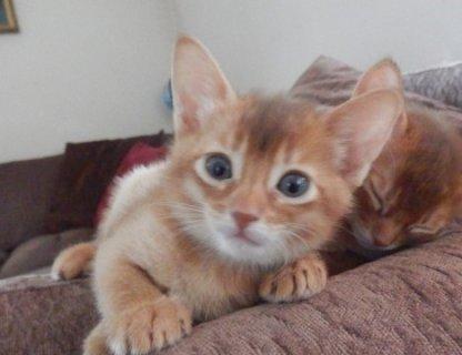 Siberian Kittens Available for your lovinga homes