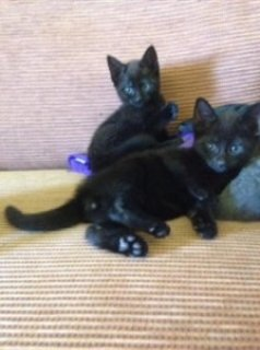 Russian Black Kittens Rare