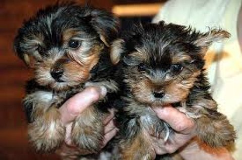 Male and female Teacup Yorkie Puppies Available f