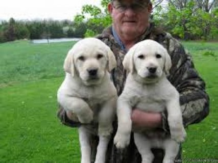 صور  male and female Labrador puppies for your loving  1