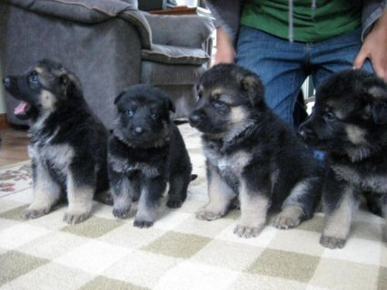 German Sherpherd puppies for adoption.