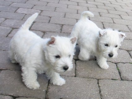 West Haighland Terrier Puppies for sale.West Haigh