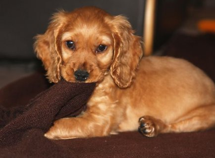 صور Cocker Spaniel Puppies for Adoption 1