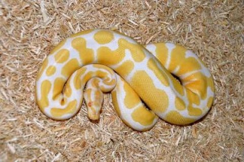 صور albino and piebald ball pythons for adoption 1