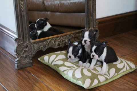 Beautiful Black brindle and white Boston Terrier P