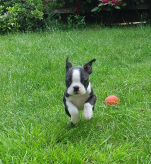 Beautiful Male and Female Boston Terrier Puppies f