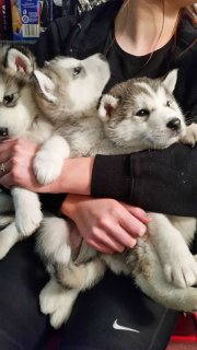 Stunning Alaskan Malamute Pups for sell
