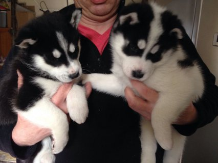 صور Beautiful Siberian Husky Puppies For Sale 1