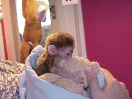 Amazing Capuchin Monkey   Monkey that will make a
