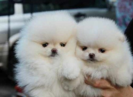 صور #9733; Cute Pomeranian Puppies Available For Adopt 1