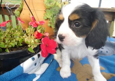 صور excellence cavalier king charles spaniel puppies f 1
