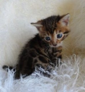Nice Cute Bengal Kittens Available today for view