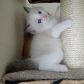 Clean Ragdoll kittens Contact EMAIL[melleygarcia@g