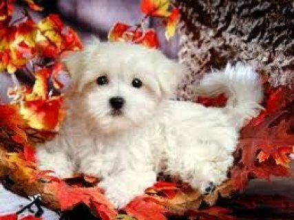 Gorgeous Teacup Maltese Puppies
