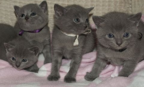 Chartreux Kittens for Adoption