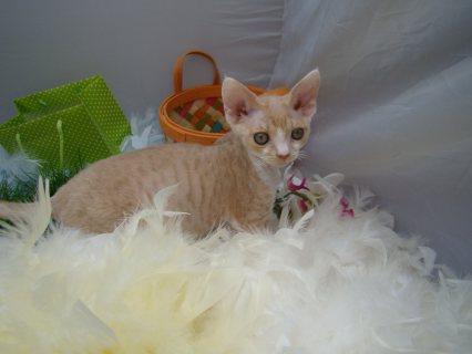 Devon Rex kittens for Adoption