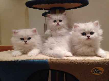lovely  male and female persian kittens for Adopti