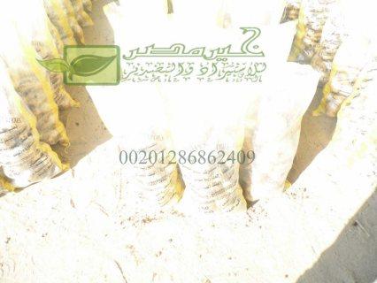 للتصدير بطاطس مصرية عالية الجودة