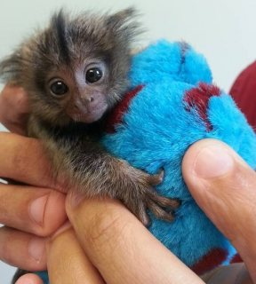 Marmoset Monkeys Available for sale