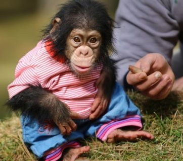 chimpanzee sociable for new lovely families