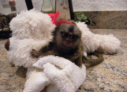 Well trained hand raised marmoset monkey available