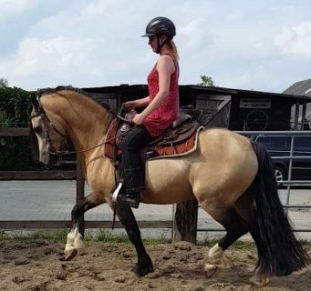 Gelding x cob 11.6 horse available for sale