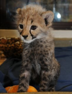 Outstanding new baby Cheetah available for Sale.