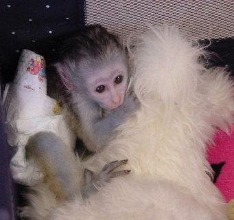 Capuchin Monkeys available for new home