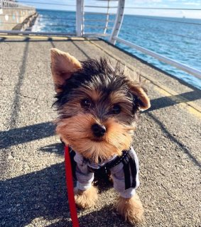 Pure Yorkie puppies for sale