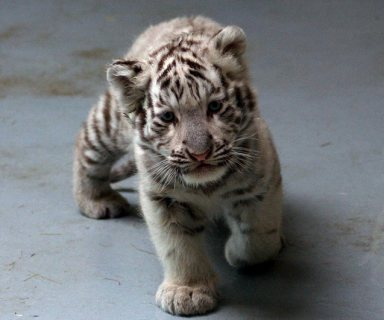 Tiger cubs are available for sale